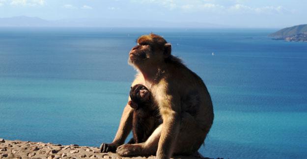 Affen in Gibraltar